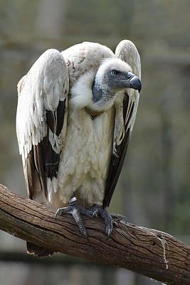 Cape Griffon Vulture Original by Alan Lenk