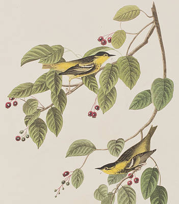 Carbonated Warbler Print by John James Audubon