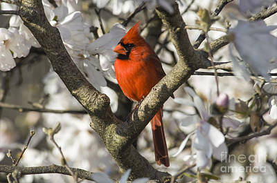 Northern Cardinal And Magnolia 1 - D009892 Print by Daniel Dempster