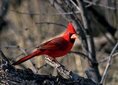 Arizonia Photograph - Cardinal by Earl Nelson