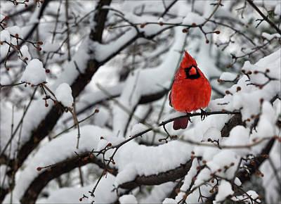 Daniel Photograph - Cardinal In The Snow 2 by Robert Ullmann