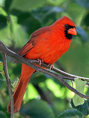 Cardinal Print by Juergen Roth