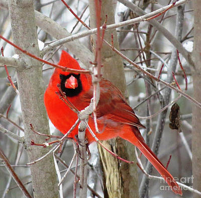 Red Bird Photograph - Cardinal Red by Stephanie Forrer-Harbridge
