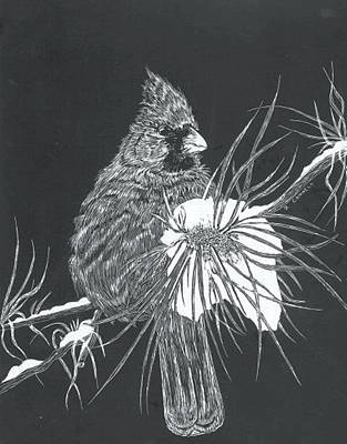 Cardinal Scratch Board Print by Darren Cannell