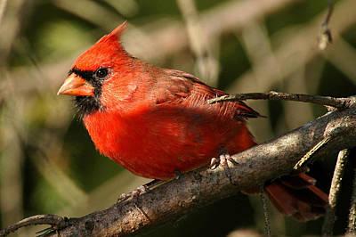 Cardinal Up Close Print by Alan Lenk