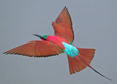 Carmine Bee-eater In Flight Print by Johan Elzenga