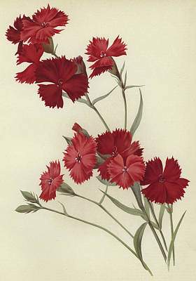Blooming Drawing - Carnations by English School