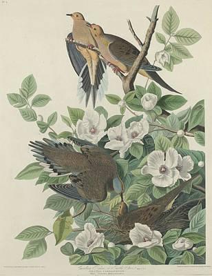Pigeon Drawing - Carolina Pigeon Or Turtle Dove by John James Audubon