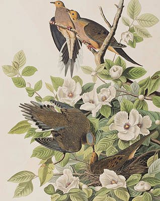 Turtle Drawing - Carolina Turtle Dove by John James Audubon