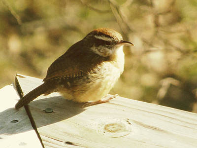 Carolina Wren Print by Amy Tyler