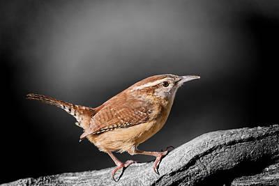 Wren Photograph - Carolina Wren by Bonnie Barry