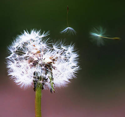 Pompons Photograph - Carried By The Wind by Parker Cunningham