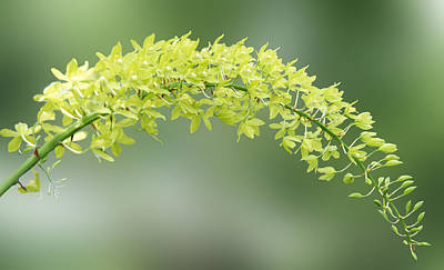Cassia Blossoms Photograph - Cassia Fistula by Art Spectrum