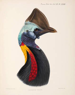 John Gerrard Keulemans Drawing - Casuarius Unappendiculatus Philipi by John Gerrard Keulemans
