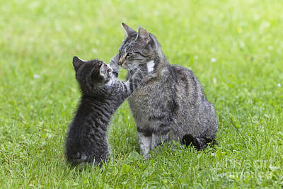 Pet Care Photograph - Cat Playing With Kitten by Duncan Usher
