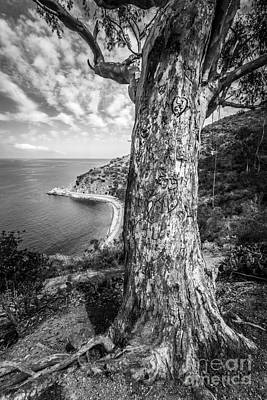 Carving Photograph - Catalina Island Lover's Cove Tree In Black And White by Paul Velgos