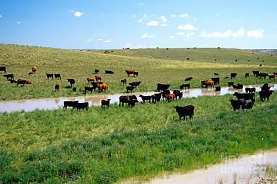Cattle Graze On Reclaimed Land Print by Inga Spence