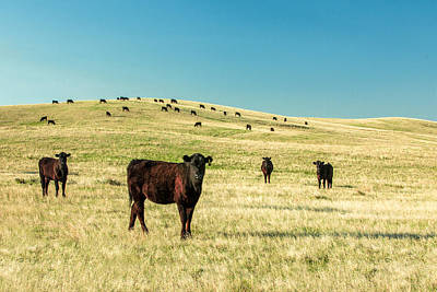 Angus Steer Photograph - Cattle Grazing On The Plains by Todd Klassy