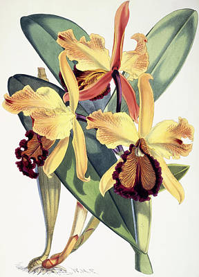 Orchids Drawing - Cattleya Dowiana by Walter Hood Fitch