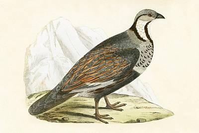 Caucasian Snow Partridge Print by English School