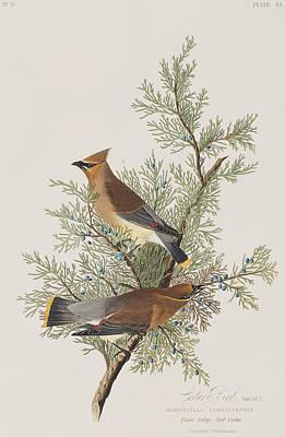 John Art Drawing - Cedar Bird by John James Audubon