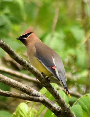 Cedar Wax Wing 1 Print by Sheri McLeroy