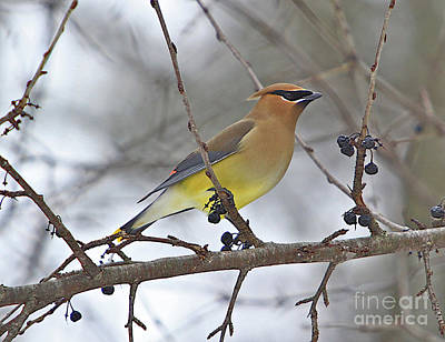 Cedar Wax Wing-2 Print by Robert Pearson