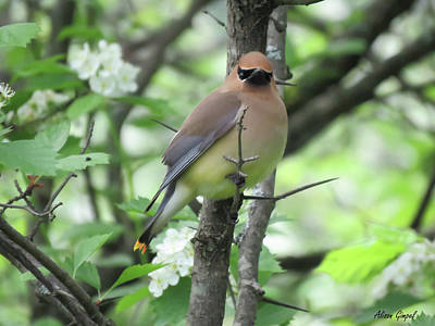 Cedar Waxing Photograph - Cedar Wax Wing by Alison Gimpel