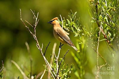 Cedar Waxwing At Glacier Print by Adam Jewell