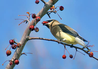 Cedar Waxwing Photograph - Cedar Waxwing - Feeding by Nikolyn McDonald