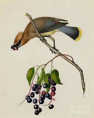 Endangered Painting - Cedar Waxwing by Celestial Images
