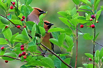 Cedar Waxwing Original by James F Towne