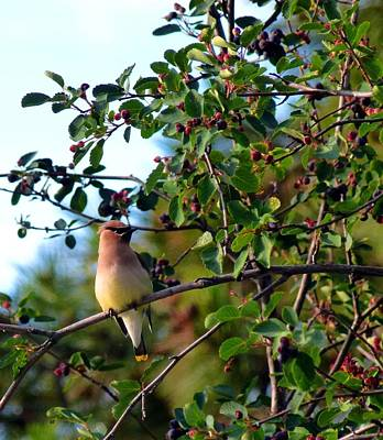 Cedar Waxwing Photograph - Cedar Waxwing by Will Borden