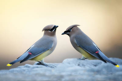 Cedar Waxwing Photograph - Cedar Waxwings by Bonnie Barry