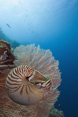 Undersea Photograph - Chambered Nautilus by Dave Fleetham - Printscapes