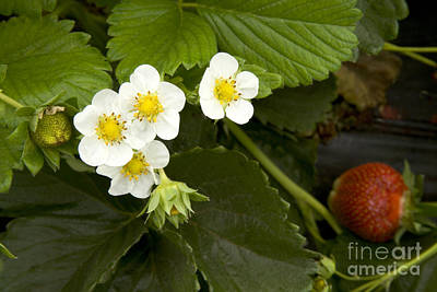 Strawberry Fields Photograph - Chandler Strawberries Flowering by Inga Spence