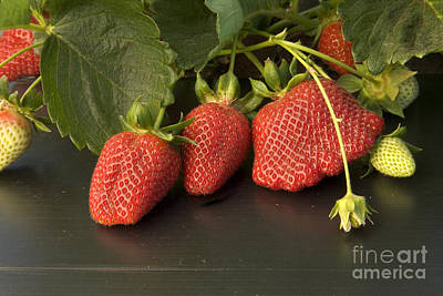 Strawberry Fields Photograph - Chandler Strawberries by Inga Spence