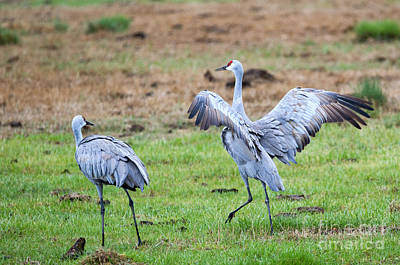 Sandhill Crane Photograph - Check The Moves by Mike Dawson