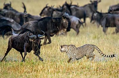 Cheetah Acinonyx Jubatus Chasing Print by Panoramic Images