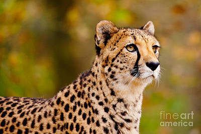 Cheetah In A Forest Print by Nick  Biemans