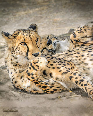 Cheetah Photograph - Cheetah Lounge Cats by LeeAnn McLaneGoetz McLaneGoetzStudioLLCcom