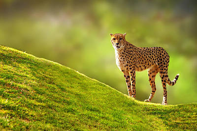 Large Mammals Photograph - Cheetah On A Hill by Susan Schmitz