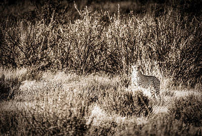 Cheetah On The Prowl - Toned Black And White Namibia Africa Photograph Print by Duane Miller