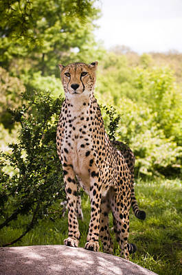 Cheetah Overlook Original by Chad Davis