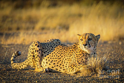 Crouched Photograph - Cheetah Portrait by Inge Johnsson