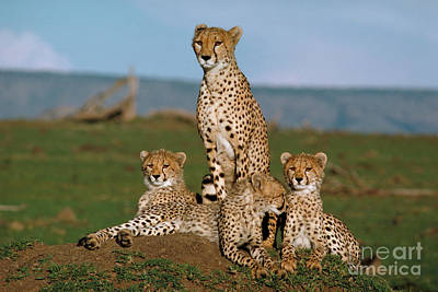 Cheetah With Cubs Print by Sven-Olof Lindblad