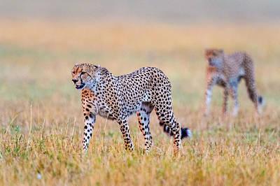 Cheetahs Acinonyx Jubatus Walking Print by Panoramic Images
