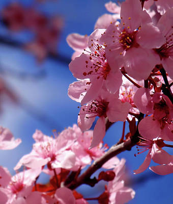 Fine Art Flower Photograph - Cherry Blossom by Rona Black