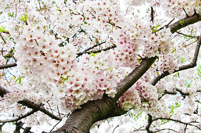 Pink Flower Branch Photograph - Cherry Blossom by Sky Noir Photography by Bill Dickinson