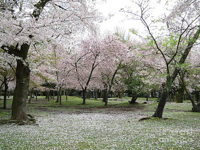 Taikan Photograph - Cherry Blossoms In Nara Park by Taikan Nishimoto